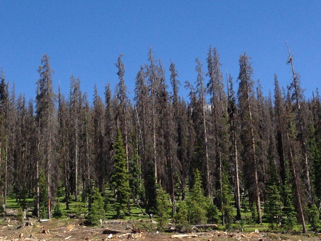 Dead Spruce trees