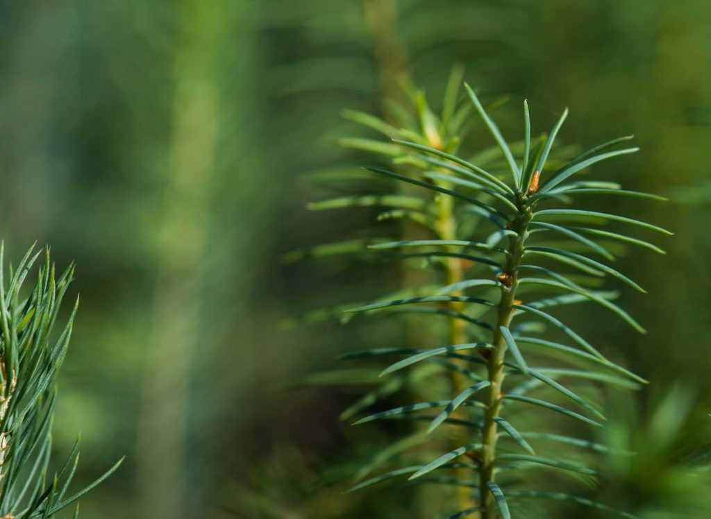 Seedling of a pine tree