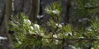 Snow on pine needles in winter