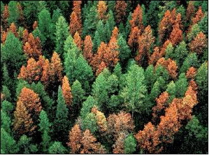 Evergreen forest with trees killed from a beetle
