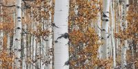 Aspen trees in the fall with white bark and yellow-orange leaves