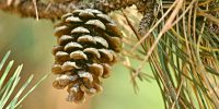 Pinecone on a tree