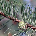 Lodgepole pine branch