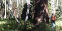 measuring a tree DBH