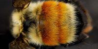 Pollinatorposter Preliminary FRSES
